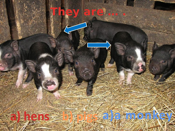 They are … .  a) hens b) pigs a)a monkey
