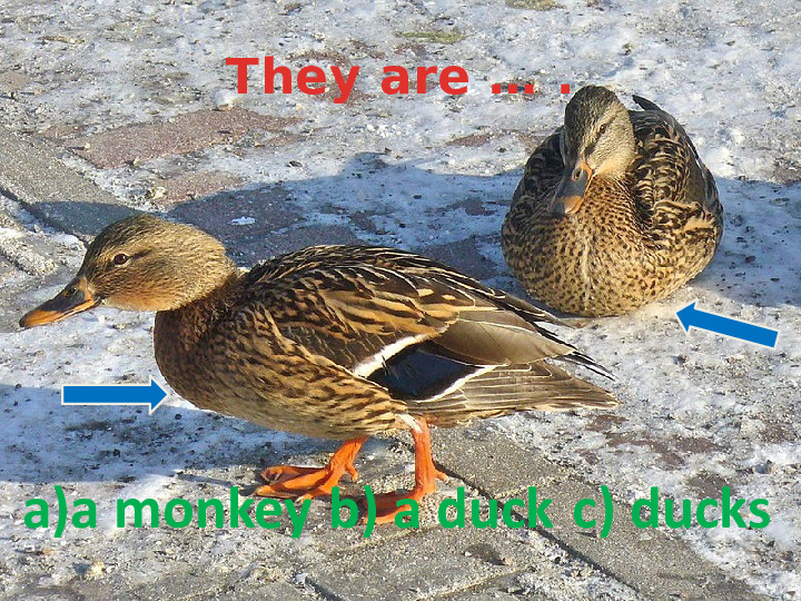 They are … .  a)a monkey b) a duck c) ducks