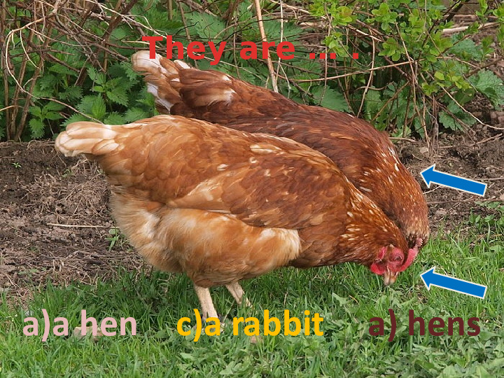 They are … .  a)a hen c)a rabbit  a) hens